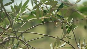 Beautiful wedding rings on the branches of olive tree.  stock video
