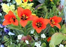 Beautiful Wedensky tulip Royalty Free Stock Photos
