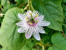 Beautiful Weed passion flower Stock Images