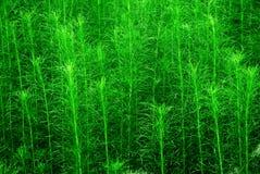 Beautiful weeds. Beautiful green weeds in summer Stock Photography