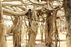 Beautiful weeping fig tree. The group of weeping fig tree has beautiful roots at Phimai, Nakhon Ratchasima, Thailand Royalty Free Stock Images