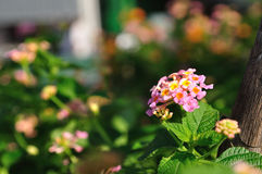 Beautiful Weeping lantanas in garden. Royalty Free Stock Photos