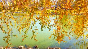 Beautiful weeping willow in the fall. Beautiful tree above a pond Royalty Free Stock Photos
