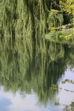 Beautiful weeping willow tree. Weeping willow tree reflecting in the water stock photography