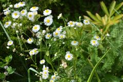 Beautiful weightless chamomile flowers with a yellow center and small white petals on a green background like chamomiles royalty free stock photos