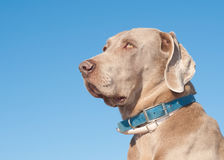 Beautiful Weimaraner dog Royalty Free Stock Photography