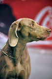 A beautiful Weimaraner dog Royalty Free Stock Image