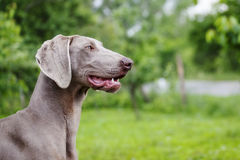 Weimaraner dog Stock Image