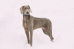 Beautiful Weimaraner Dog Standing In Snow At Winter Day. Large Dog Stock Photography