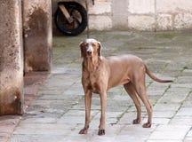 Beautiful weimaraner dog at the street of Venice Stock Photo