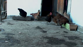 Beautiful, well-fed chickens peck the grain in the stock video