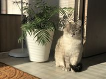 Beautiful well-groomed home gray-white blue-eyed cat squinting from the sun under the home palm Areca in a bright lighted bedroom stock photo