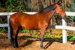 Beautiful well-groomed stallion near  fence Stock Photo