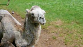 Beautiful well-kept camel,wildlife,close-up animal.Safari.