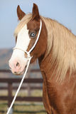 Beautiful welsh cob mare with halter Royalty Free Stock Photography