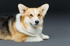 Beautiful welsh corgi dog Stock Photos