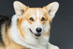 Beautiful welsh corgi dog Stock Photography