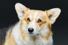 Beautiful welsh corgi dog. Beautiful welsh pembroke corgi dog over black background. Close up portrait. Copy space Royalty Free Stock Photography