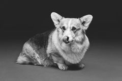 Beautiful welsh corgi dog Royalty Free Stock Photos