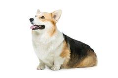 Beautiful welsh corgi dog Royalty Free Stock Images