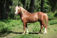 Beautiful welsh mountain pony stallion on pasturage. Beautiful chestnut welsh mountain pony stallion with blond hair standing on pasturage Royalty Free Stock Photo