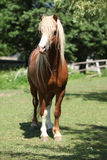 Beautiful welsh mountain pony stallion on pasturage Royalty Free Stock Photo