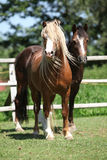 Beautiful welsh mountain pony stallion on pasturage Stock Image