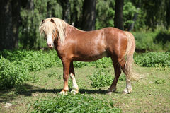Beautiful welsh mountain pony stallion on pasturage Royalty Free Stock Photos
