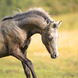 Beautiful Welsh pony, foal 3 weeks old Royalty Free Stock Photography