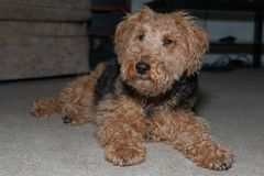 Welsh Terrier lying on the carpet full body view looking at the camera stock image