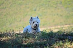 Beautiful West Highland White Terrier Dog Lying On Rebedul Meadows In Lugo. Animals Landscapes Nature. stock images