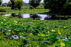 A Beautiful Wet Field of Yellow Lotus Wildflowers Royalty Free Stock Photos