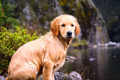Beautiful wet golden retriever waiting for a ball besides a lake Stock Images