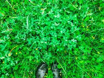 Beautiful wet leaves in summer park with drops of water after rain and green rubber boots on grass background. Beautiful green leaves in summer park with drops stock photo