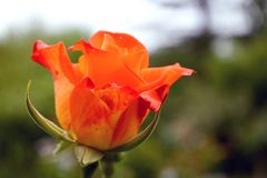 Beautiful wet orange rose flower. In the garden stock images