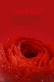 Beautiful wet red flower background Royalty Free Stock Image