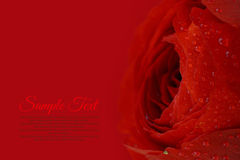 Beautiful wet red flower background Royalty Free Stock Images