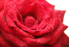 Beautiful wet red rose on white Royalty Free Stock Images