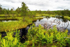 Beautiful wetland. Yaroslavl region, Russia Royalty Free Stock Photos