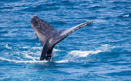 Beautiful whale. Humpback whale at Hervey Bay queensland aug 2014 royalty free stock photography
