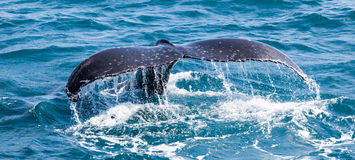 Beautiful whale. Humpback whale at Hervey Bay queensland aug 2014 royalty free stock photos