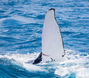 Beautiful whale. Humpback whale at Hervey Bay queensland aug 2014 royalty free stock image