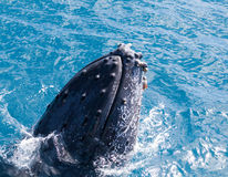 Beautiful whale. Humpback whale at Hervey Bay queensland aug 2014 stock photography