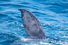 Beautiful whale. Humpback whale at Hervey Bay queensland aug 2014 stock photos