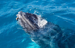 Beautiful whale. Humpback whale at Hervey Bay queensland aug 2014 stock photo