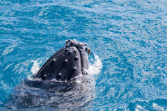 Beautiful whale. Humpback whale at Hervey Bay queensland aug 2014 royalty free stock images