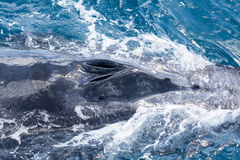Beautiful whale Stock Photography