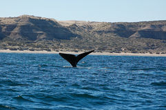 The beautiful whales in the Valdes Peninsula in Argentina. Animal stock image