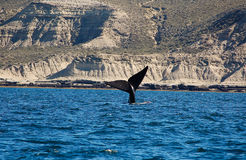 The beautiful whales in the Valdes Peninsula in Argentina. Animal royalty free stock photos
