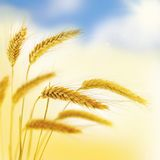 Beautiful Wheat Border. Royalty Free Stock Photo